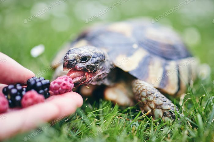 Raspberry and blackberry for home turtle