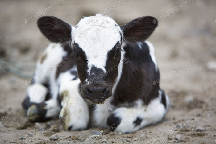 Black and white Baby Cow at the animal market of Otavalo