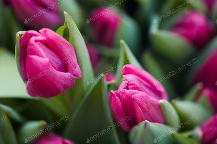 Rosa Tulpen Hintergrund