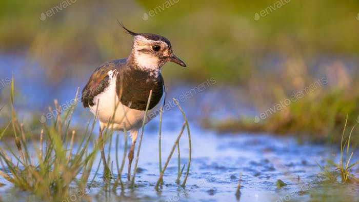 Lapwing female wading in shallow water