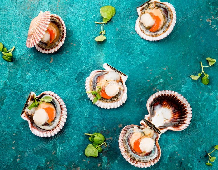 Raw opened shellfish scallops on turquoise background