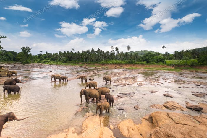 Elephants in wild nature of Sri Lanka
