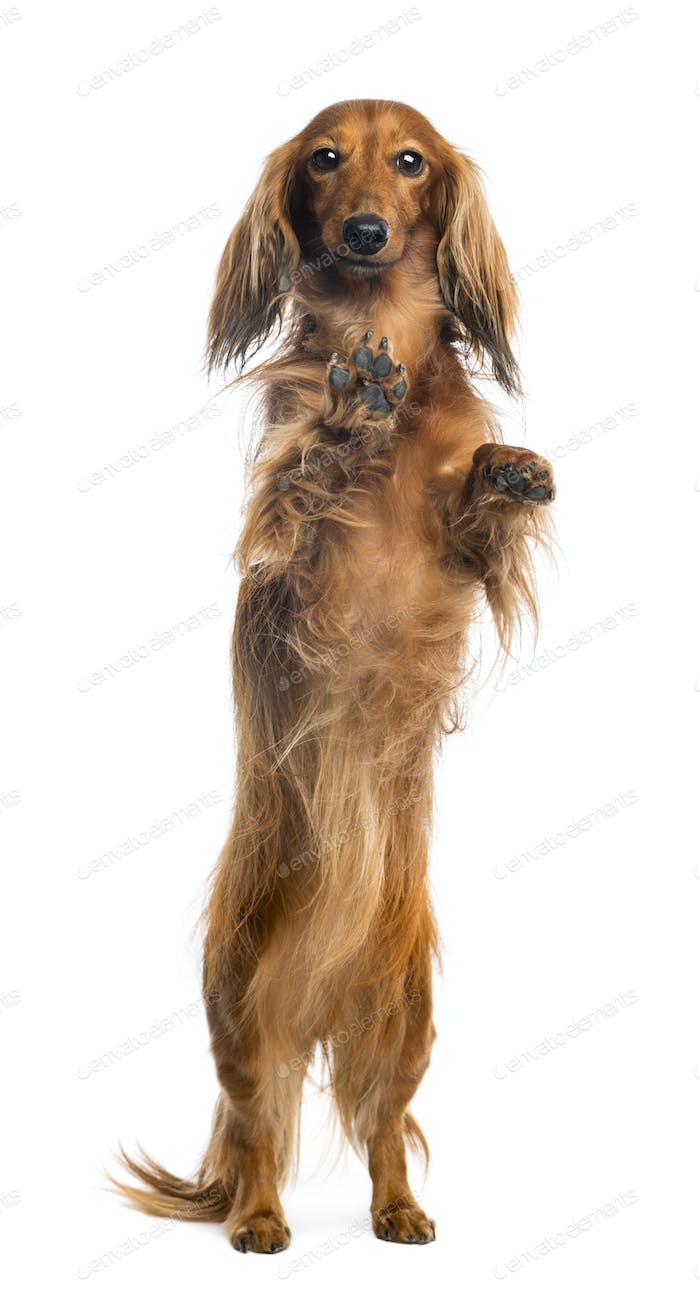 View through a glass of a Dachshund, 4 years old, on hind legs, leaning