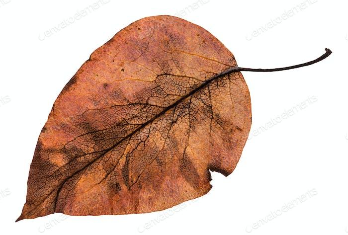 back side of autumn rotten brown leaf of apple