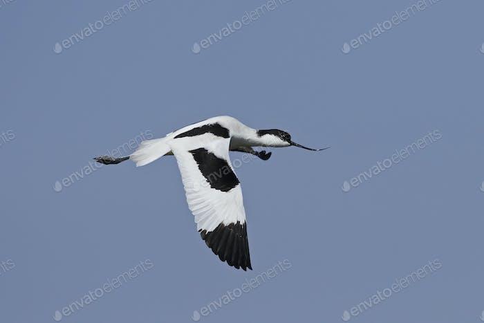 Pied avocet (Recurvirostra avosetta)