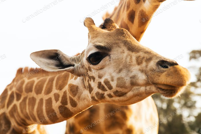 close up of giraffes in africa