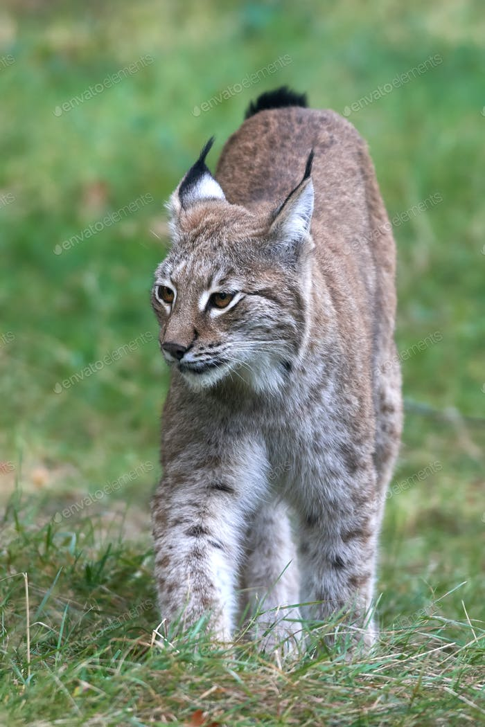 Eurasian lynx (Lynx lynx) in its natural enviroment