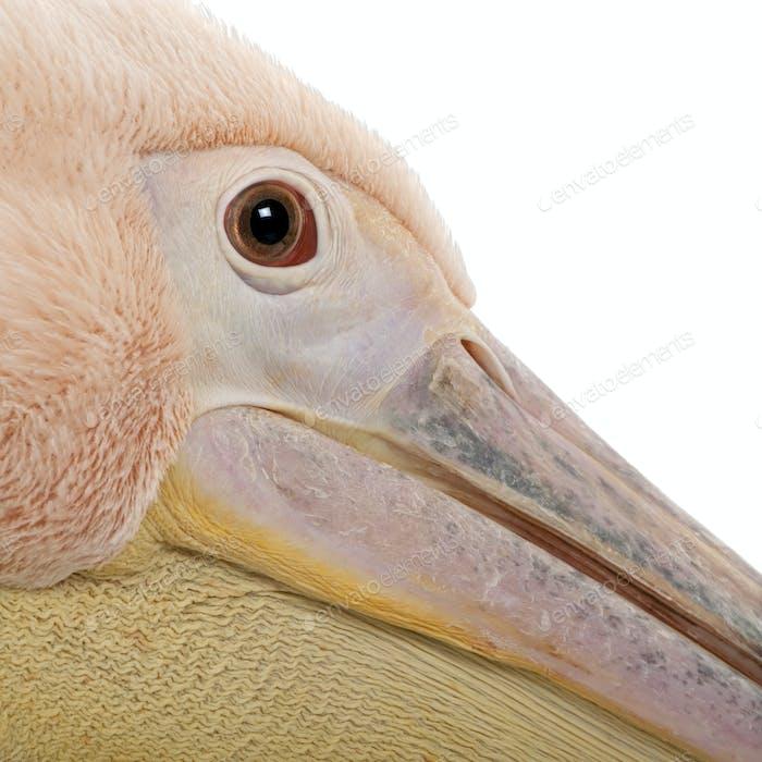 White Pelican - Pelecanus onocrotalus (18 months)