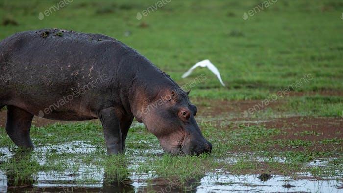 Hippopotamus amphibius. Wild animal in the nature habitat. Afric
