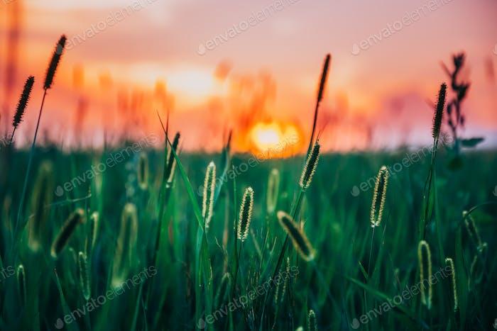 Summer Sunset Evening Sky Above Green Grass