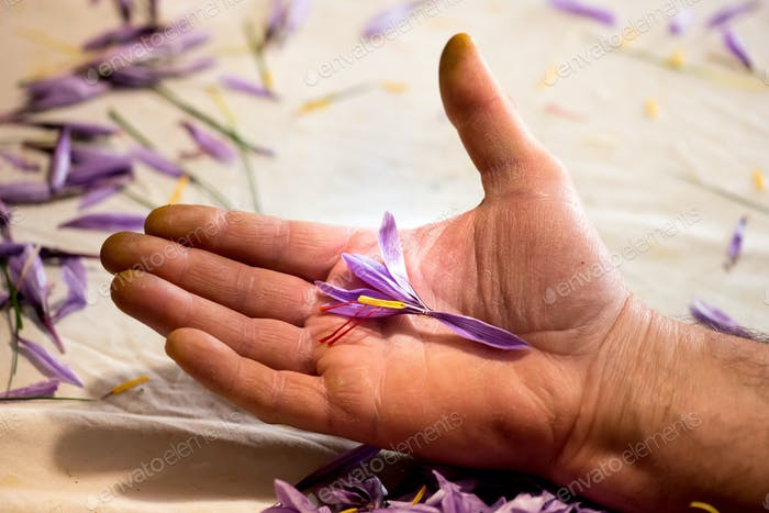 Mann hält eine Safranblüte in der Hand