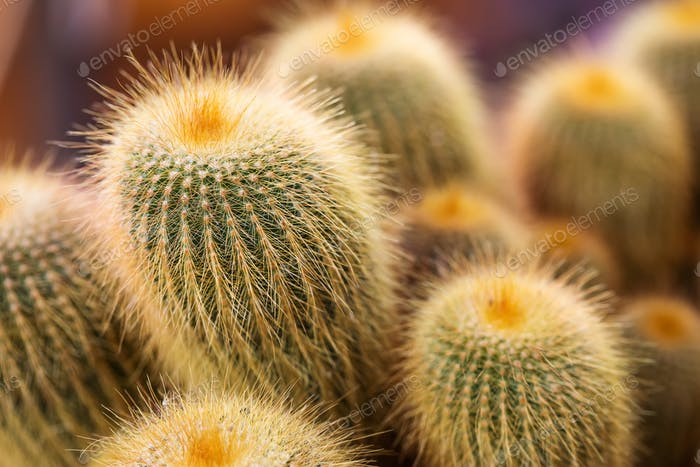 Family Cacti of different age and size