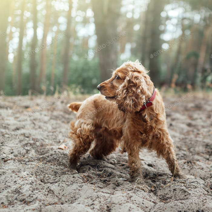 A red dog english spaniel breed stands in the sand against a bac