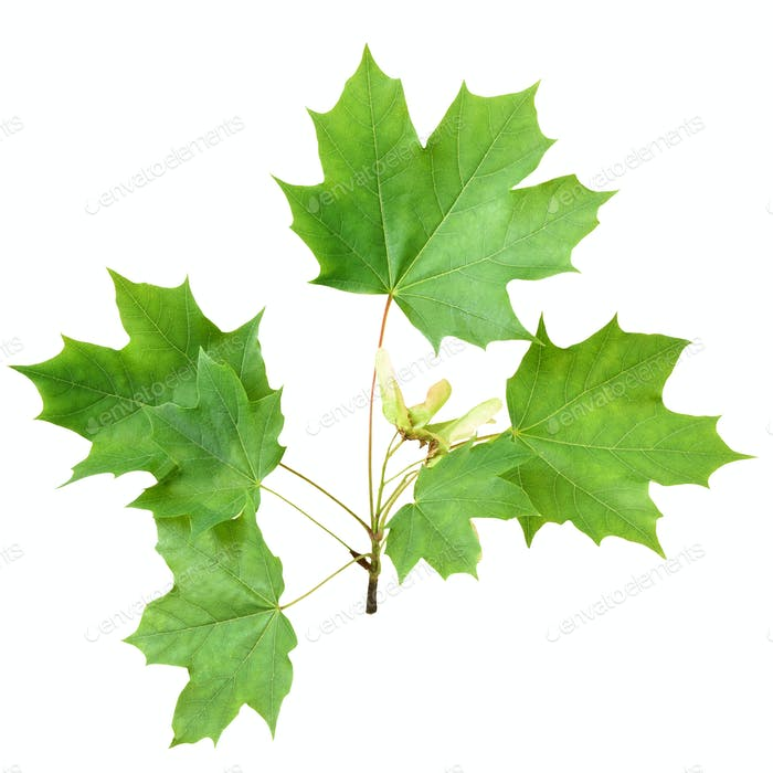 Green maple branch