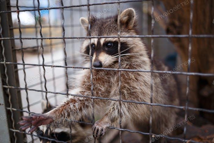 niedlicher kleiner Waschbär zieht seine Pfote aus dem Käfig