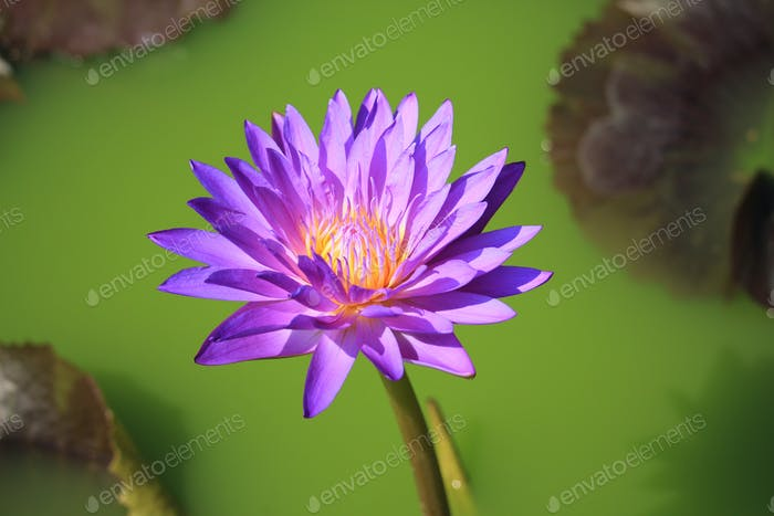 Purple lotus flower in tropical garden