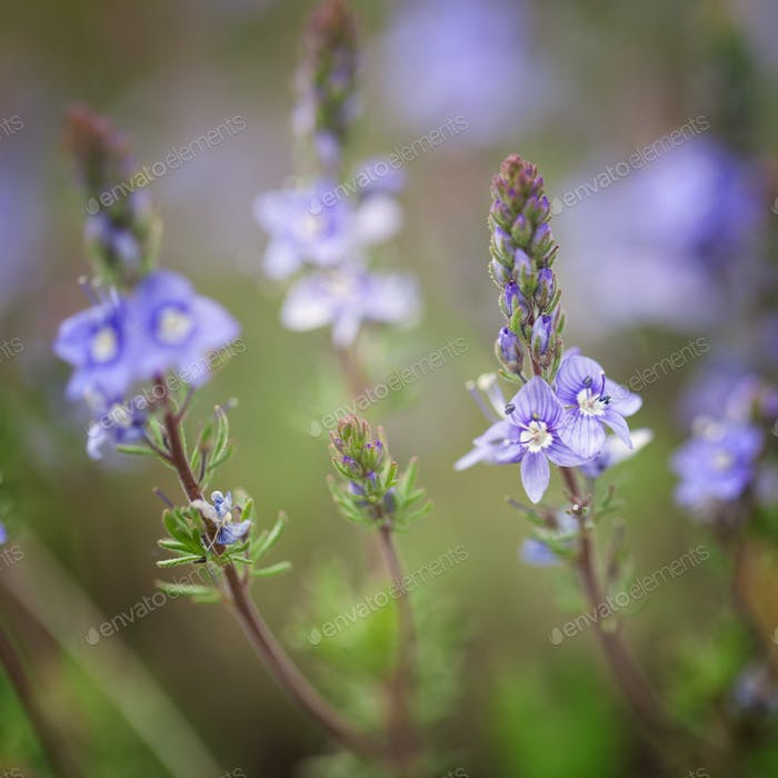 Blue flowers on a background of green leaves