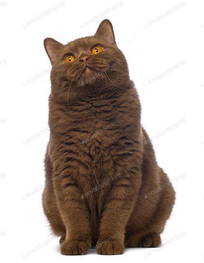 British Shorthair, 20 months old, sitting and looking up in front of white background