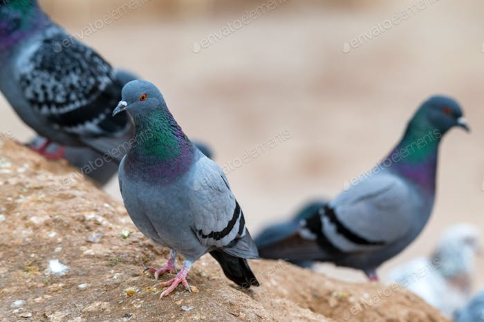 Close up of few Pigeon or Columba livia sits on stone