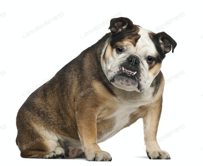 English Bulldog, 6 years old, sitting against white background