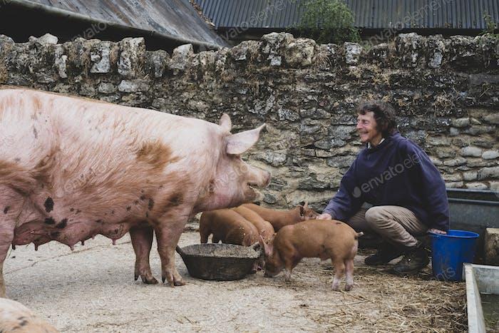 Woman feeding Tamworth sow and piglets on a farm.