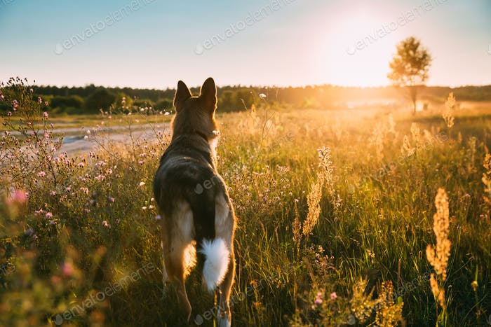 Mixed Breed Dog Walking In Summer Meadow Grass At Sunset Time. E