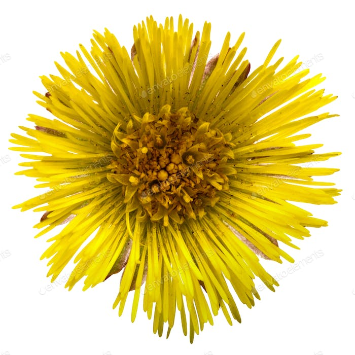 Flower of foalfoot (Tussilago farfara),  isolated on white backg