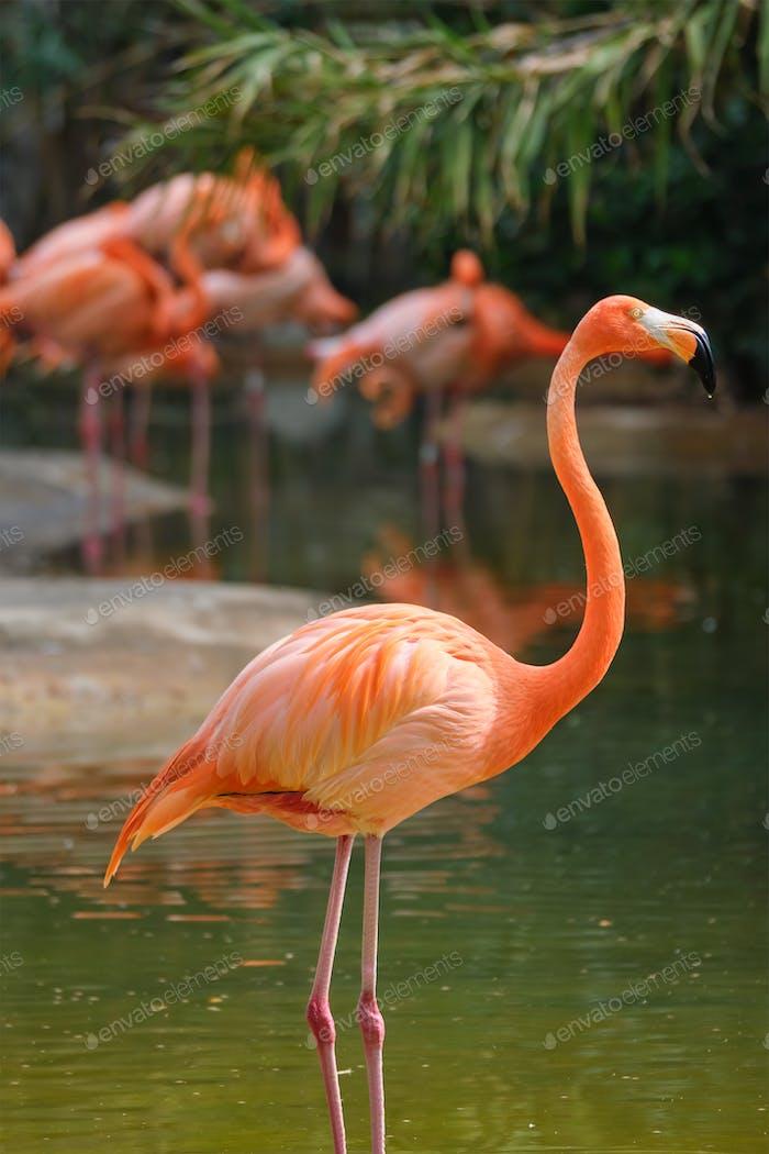 American flamingo (Phoenicopterus ruber) bird