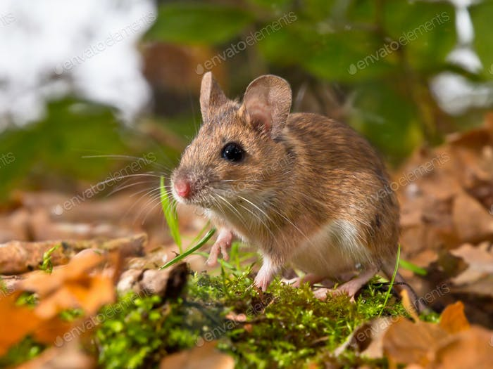 yellow necked mouse in forest