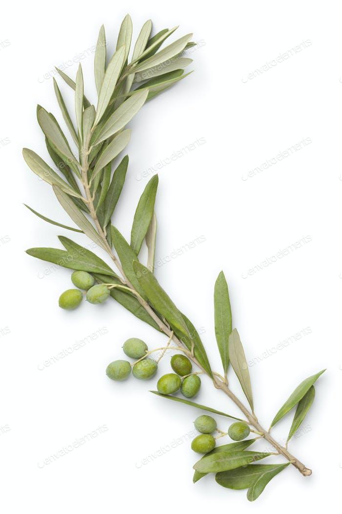 Olive twig