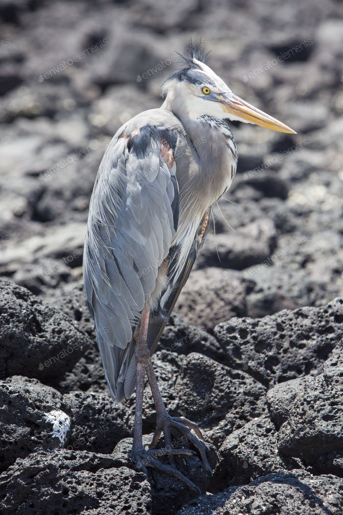Great blue heron with its neck pulled in, Galapagos
