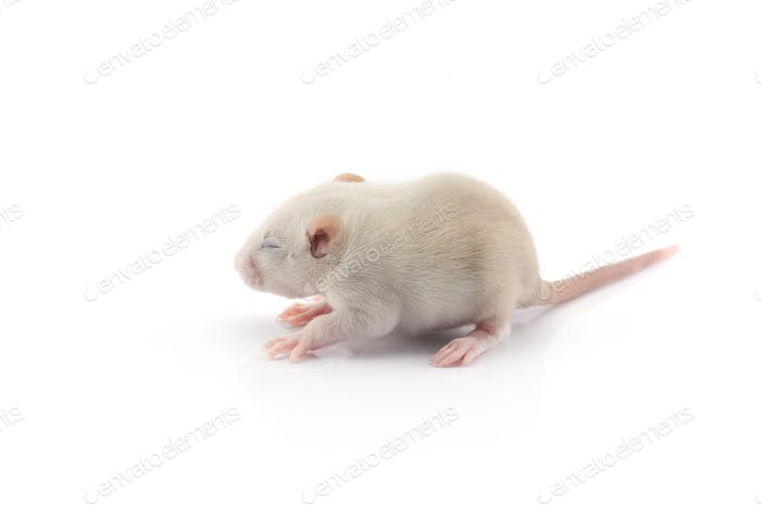 Laboratory rat isolated on white background