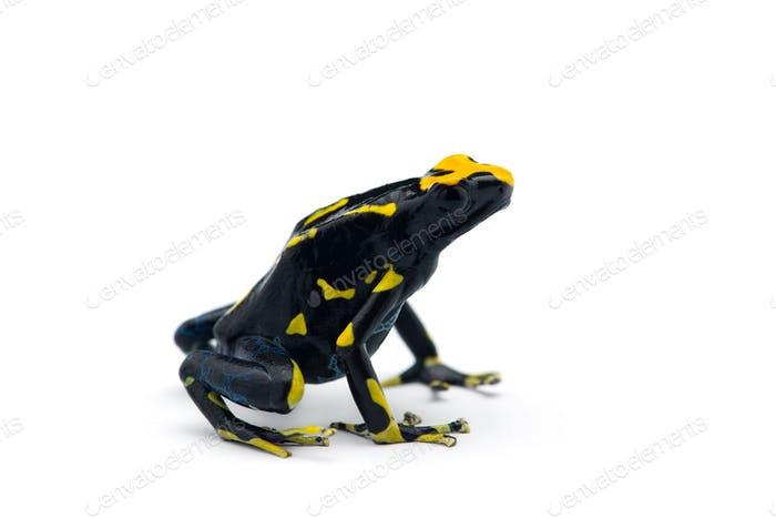 The dyeing dart frog isolated on white background