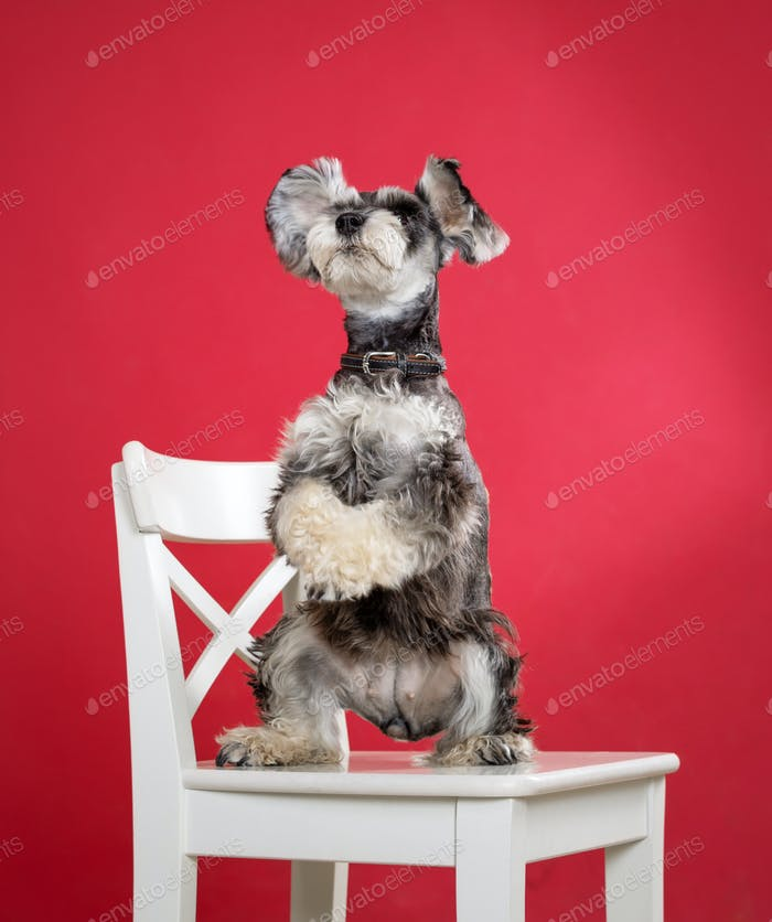 Miniature schnauzer dog stands on its hind legs on chair
