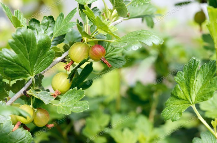 Gooseberry berries on the branches, selective focus. Gardening.