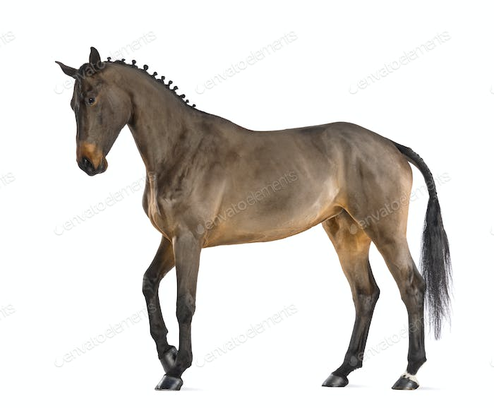 Female Belgian Warmblood, BWP, 4 years old, with mane braided with buttons against white background