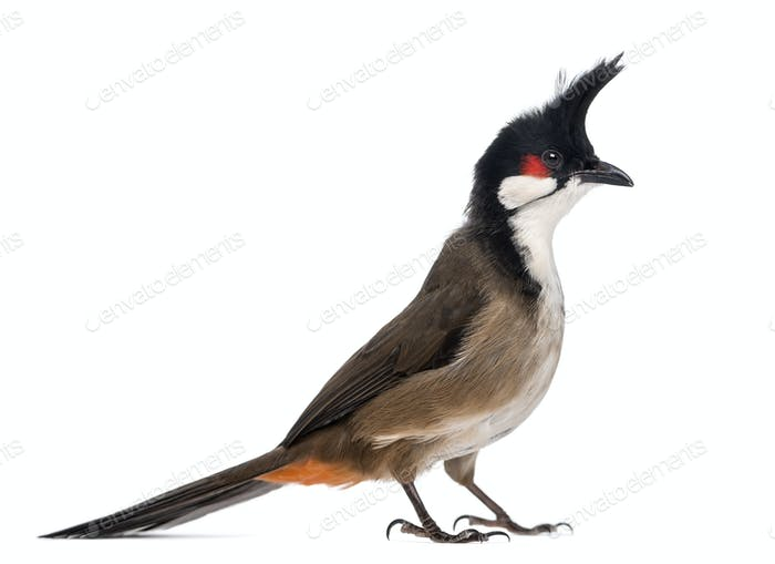 Side view of a Red-whiskered Bulbul - Pycnonotus jocosus - isolated on white