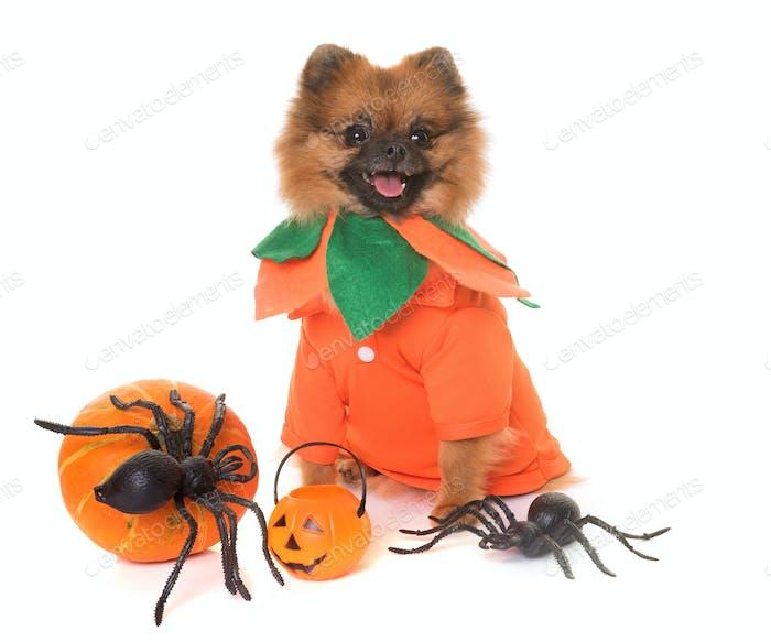 Pommerschen Spitz und Halloween