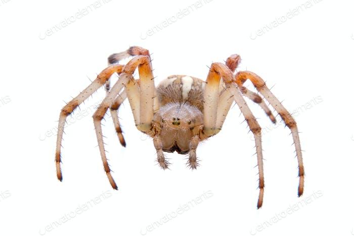 Araña marrón sobre Fondo blanco