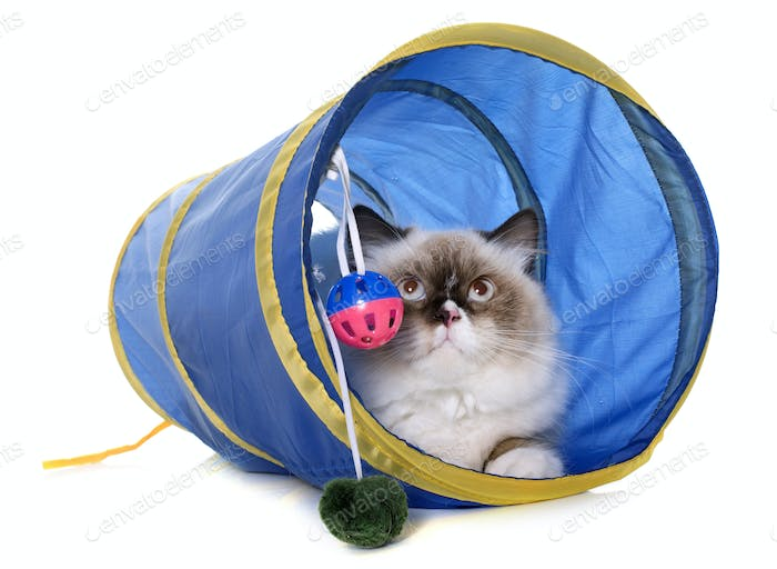 english longhair cat in tunnel