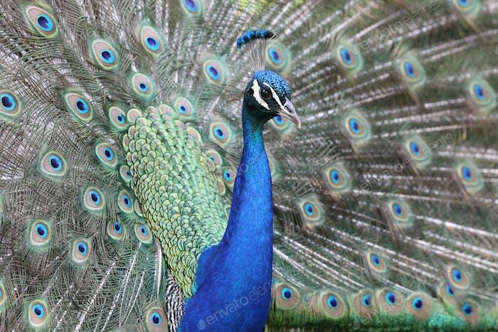 Peacock close-up portrait