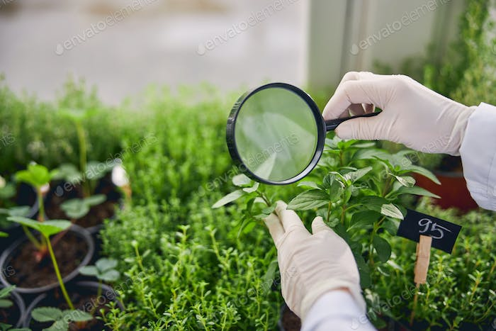 Biological scientist studying the leaves of plants
