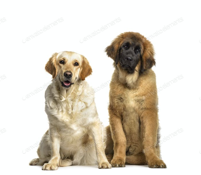 Leonberger and Labrador Retriever dogs sitting, cut out