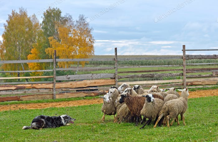 Sheepdog working sheeps