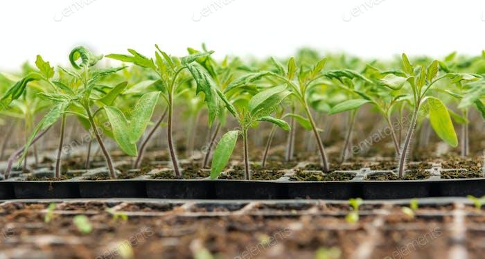 Kleine Setzlinge, die in Kultiviertablett wachsen