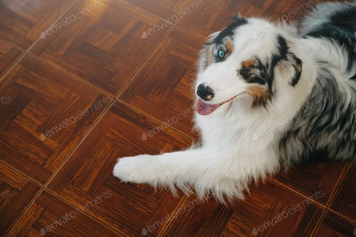 Domestic australian shepherd lying on floor and looking at camera