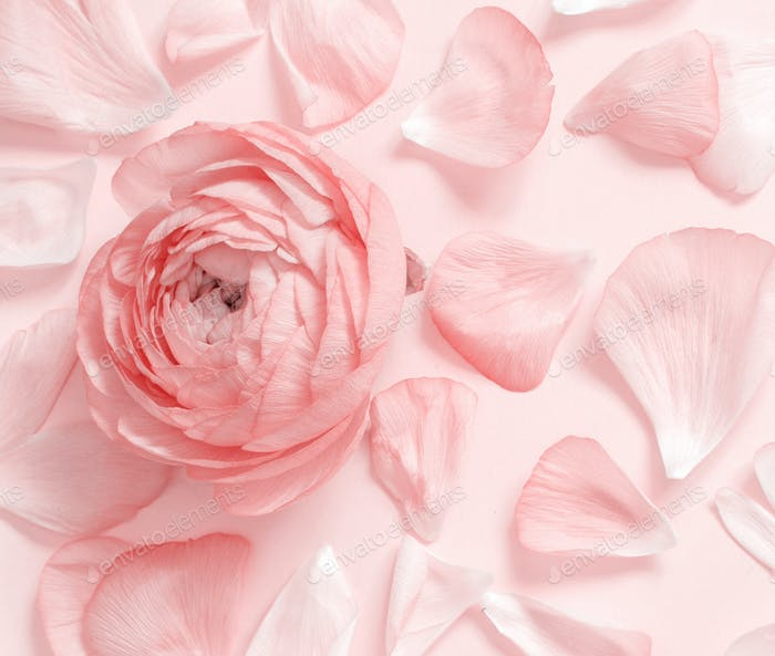 Pink ranunculus flowers and petals on a light pink background