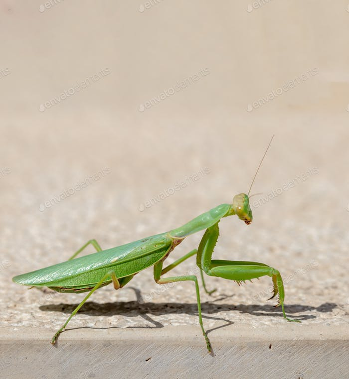Green mantid, mantidae on beige color wall background.