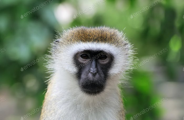 Vervet Monkey, National park of Kenya