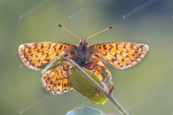 Cranberry Fritillary  seen from underside